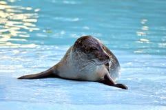 Schöner junger Seelöwe Stockfotografie