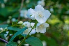 Schöner junger weißer Jasmin blüht auf dem Busch im Garten Lizenzfreie Stockbilder