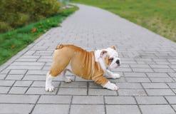 Schöner junger Welpe der Bulldogge Lizenzfreie Stockfotos