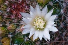 Schöner Kaktus der weißen Blume lizenzfreie stockfotos