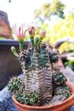 Schöner Kaktus haben die blühende und stachelige Blume Lizenzfreie Stockfotos
