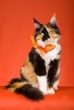 Schöner Kaliko Maine-Waschbär auf orange Hintergrund Lizenzfreie Stockfotografie