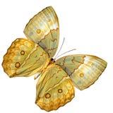 Schöner Kambodschaner Junglequeen-Schmetterlings-Unterflügelteil herein stockbild