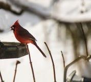 Schöner Kardinal Stockfotografie