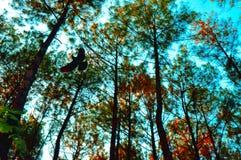 Schöner Kiefernwald in Yogyakarta stockfoto