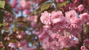 Schöner Kirschbaum blüht in voller Blüte am Frühling Erstaunliche rosa Blumen des japanischen Kirschbaumabschlusses oben stock footage