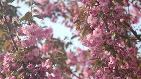 Schöner Kirschbaum blüht in voller Blüte am Frühling Erstaunliche rosa Blumen des japanischen Kirschbaumabschlusses oben stock video