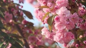 Schöner Kirschbaum blüht in voller Blüte am Frühling Erstaunliche rosa Blumen des japanischen Kirschbaumabschlusses oben stock video footage