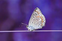 Schöner kleiner blauer Schmetterling sitzt auf einem dünnen Topf Stockfotografie