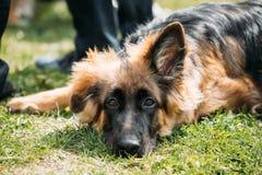 Schöner kleiner junger schwarzer Schäferhund Puppy Dog Resting herein Lizenzfreie Stockbilder