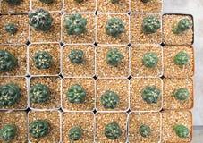 Schöner kleiner Kaktus im Topf am Bauernhof lizenzfreies stockfoto