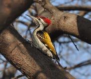 Schöner kleiner roter Hauptvogel stockbild