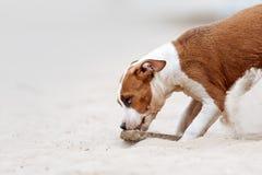 Schöner kleiner Welpenstaffordshire-Terrier, der auf dem Strand spielt Stockfotos