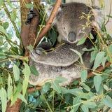 Schöner Koala gehockt auf einem Baum, welche nach Blättern sucht, um beim Beobachten des Fotografen, West-Australien zu essen stockbild
