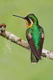 Schöner Kolibri Orange und grüner kleiner Vogel vom Gebirgswolkenwald in Costa Rica Purpurrot-throated Berg-Edelstein, Lamporn Stockfoto