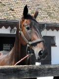 Schöner Kopf des Pferds. Stockfotografie