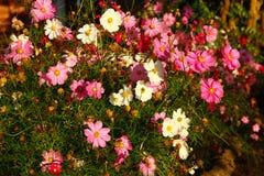 Schöner Kosmosblumengarten Stockfoto