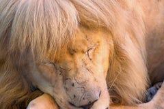 Schöner Löwe beim Schlafen gefangen genommen Lizenzfreie Stockfotos