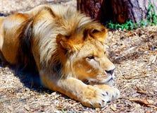 Schöner Löwe, der im Sonnenschein stillsteht Bewirken Sie seitlichen 50mm Nikkor Stockfotografie