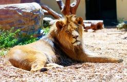 Schöner Löwe, der im Sonnenschein stillsteht Bewirken Sie seitlichen 50mm Nikkor Stockfotos