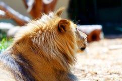 Schöner Löwe, der im Sonnenschein stillsteht Bewirken Sie seitlichen 50mm Nikkor Stockbilder