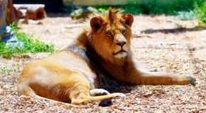 Schöner Löwe, der im Sonnenschein stillsteht Bewirken Sie seitlichen 50mm Nikkor Stockbild