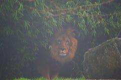 Schöner Löwe unter dem Regen an einem grauen Tag lizenzfreies stockbild