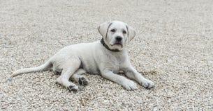 Schöner Labrador-Hund, der auf Kommando in der Schulbildung hört stockbild