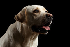 Schöner Labrador retriever-Hund vor lokalisiertem schwarzem Hintergrund Stockfotos