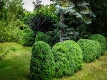 Schöner landschaftlich gestalteter Garten mit Evergreens Picea pungens über vielen Buchsbaum lizenzfreie stockfotografie