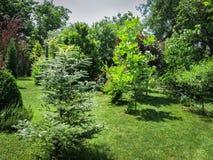 Schöner landschaftlich gestalteter Garten mit Evergreens und grünem Rasen Auf dem links ist Tanne Abies koreana Silberlocke, Rech stockfotografie