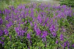 Schöner Lavendel in Gipfel-Erholungsort-Taichungs-Garten Stockfotos