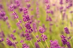 Schöner Lavendelblumenabschluß herauf Detail Stockfoto