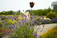 Schöner Lavendelgarten in Sequim Lizenzfreies Stockbild