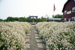 Schöner Lavendelgarten in Sequim 14 Lizenzfreie Stockbilder