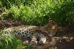 Schöner Leopard in aufpassendem Spiel Botswanas Lizenzfreie Stockbilder