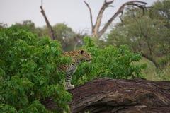Schöner Leopard in aufpassendem Spiel Botswanas Lizenzfreies Stockfoto