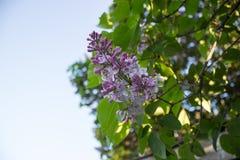 Schöner lila Strauch Stockfotos