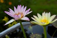 Schöner Lotos in einem Teich lizenzfreie stockfotos