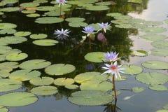 Schöner Lotos im Teich stockfotos