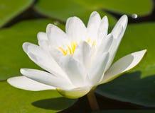 Schöner Lotos mit Wasser Stockbild