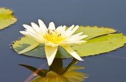 Schöner Lotos mit Wasser Stockfoto