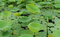 Schöner Lotosblatthintergrund Stockbild