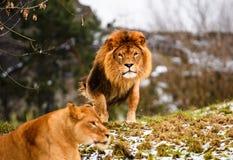Schöner mächtiger Löwe, der zu ihrer Löwin läuft lizenzfreie stockfotografie