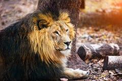 Schöner mächtiger Löwe, der zu ihrer Löwin läuft lizenzfreies stockfoto