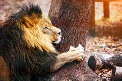 Schöner mächtiger Löwe, der zu ihrer Löwin läuft lizenzfreies stockbild