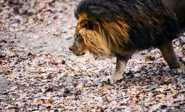 Schöner mächtiger Löwe, der zu ihrer Löwin läuft stockfotos