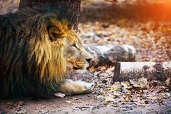 Schöner mächtiger Löwe, der zu ihrer Löwin läuft stockfotografie