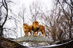 Schöner mächtiger Löwe mit Löwin L?wefamilie, die im Gras liegt stockfotografie