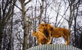 Schöner mächtiger Löwe mit Löwin L?wefamilie, die im Gras liegt stockbild
